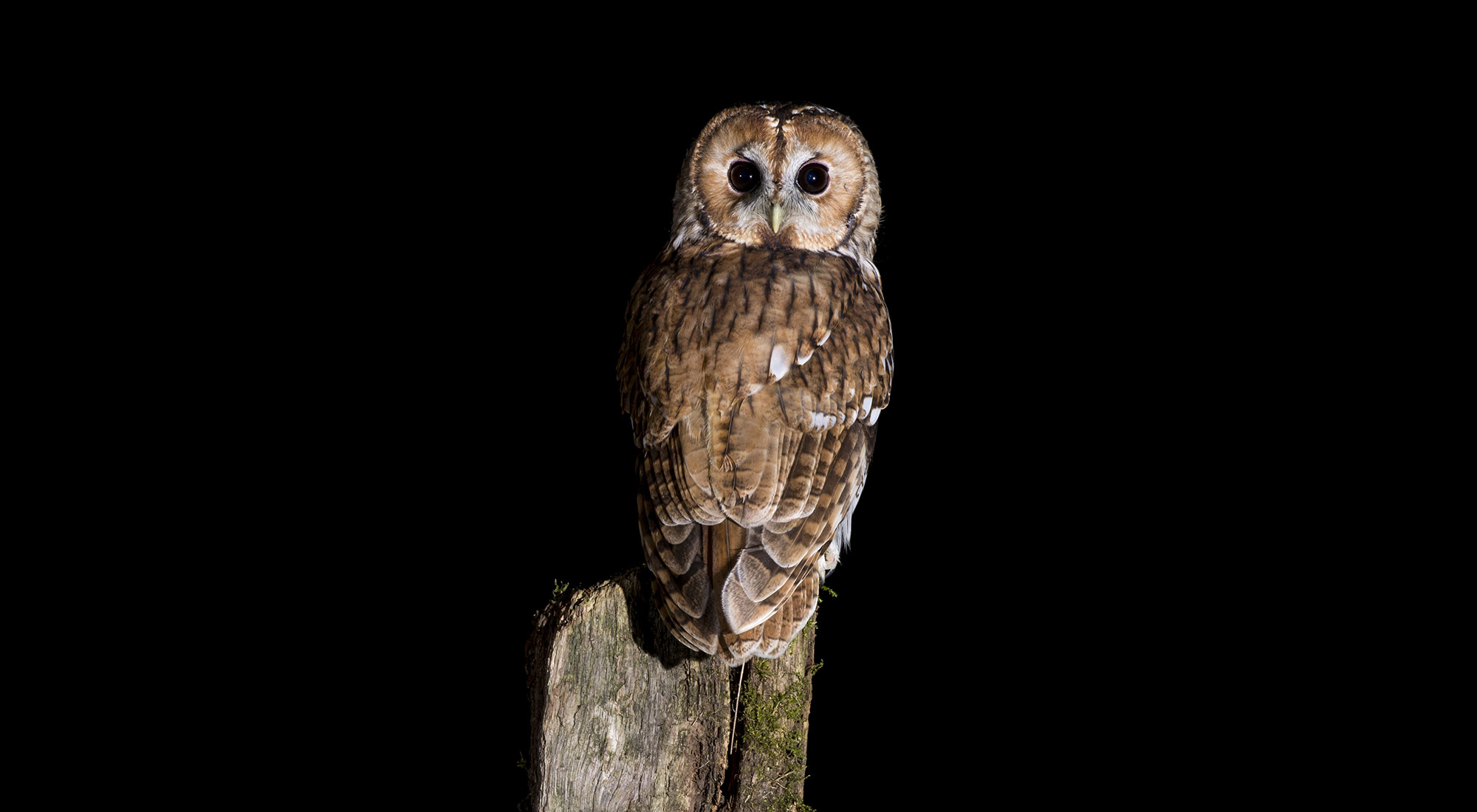Wildlife Photography Hides Hide photography Bourne Lincolnshire perched post tawny owl tom robinson night nighttime photo flash nikon