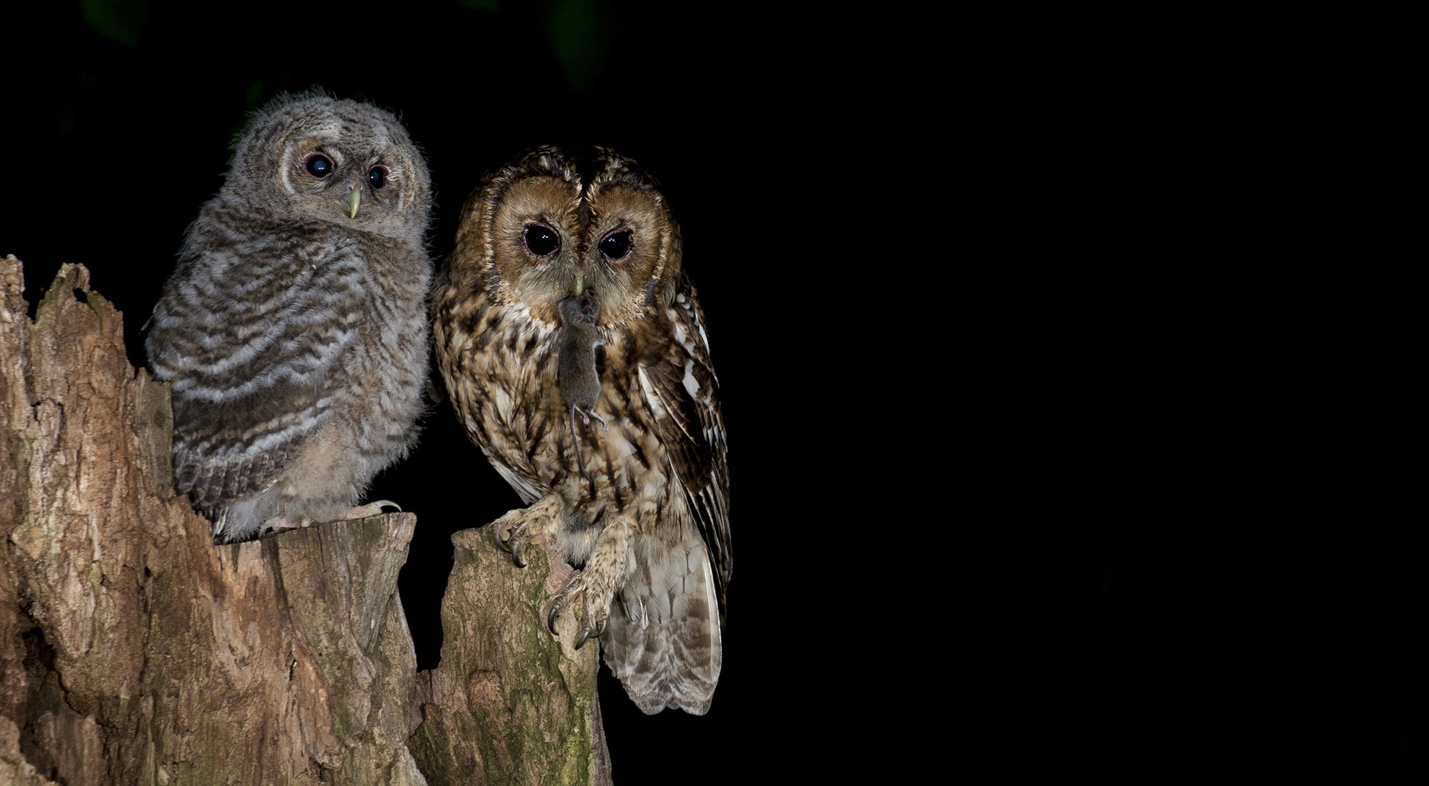 Wildlife Photography Hides Hide photography Bourne Lincolnshire nest site old tree hole adult juvenile feeding wood mouse flash scaffold hide canvas hide tom Robinson nikon tawny owl night spring