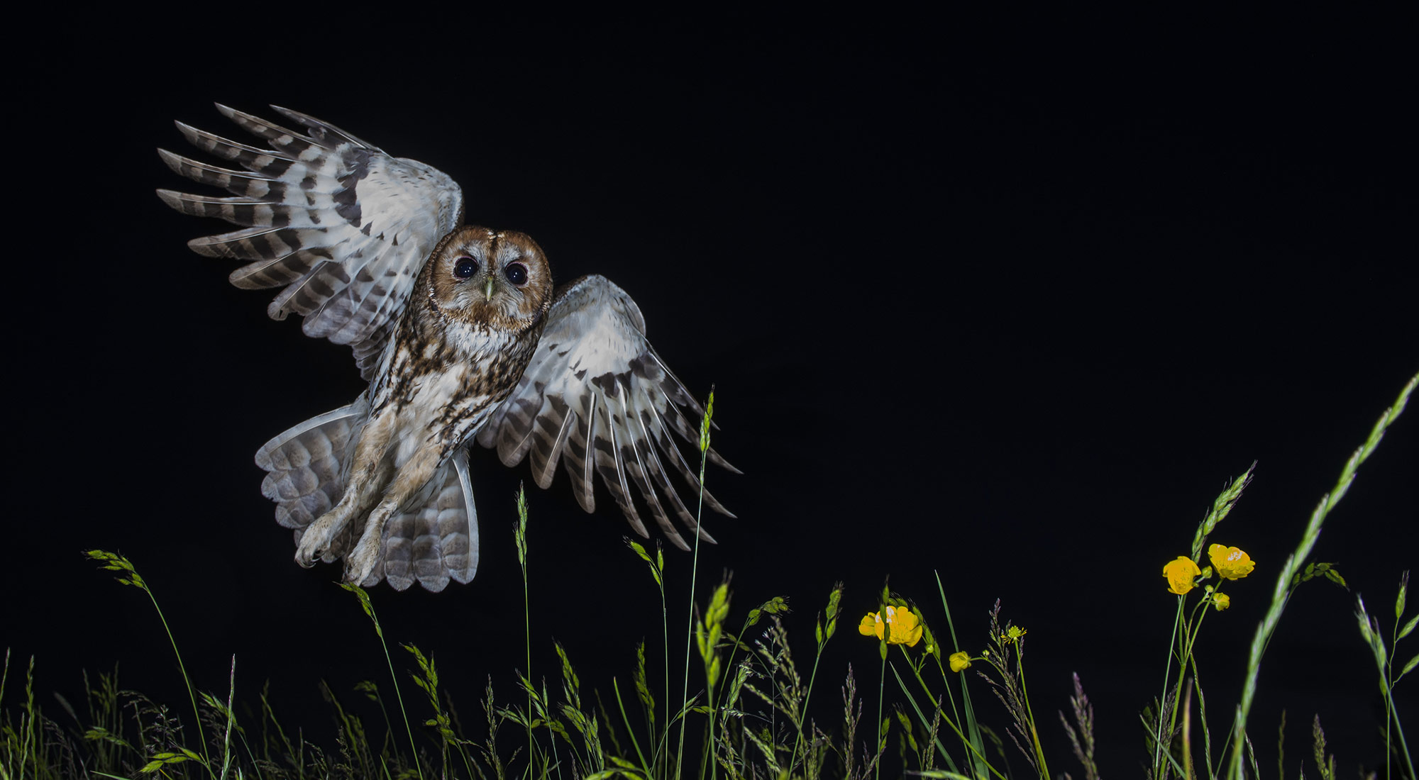 Wildlife Photography Hides Hide photography Bourne Lincolnshire flying flight tawny owl wild flowers wildflowers buttercups night flash baited adult wide angle remote release wireless summer