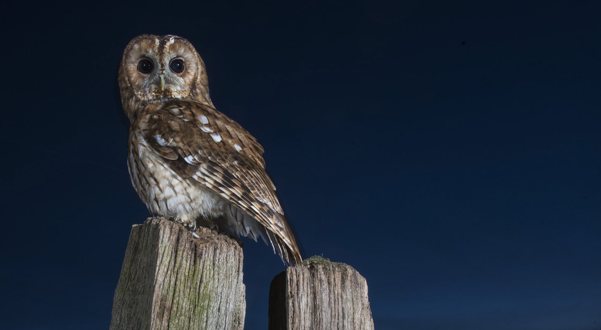 Wildlife Photography Hides Hide photography Bourne Lincolnshire tawny owl dusk tom robinson gate post perched baited long spring exposure wireless remote release wide angle