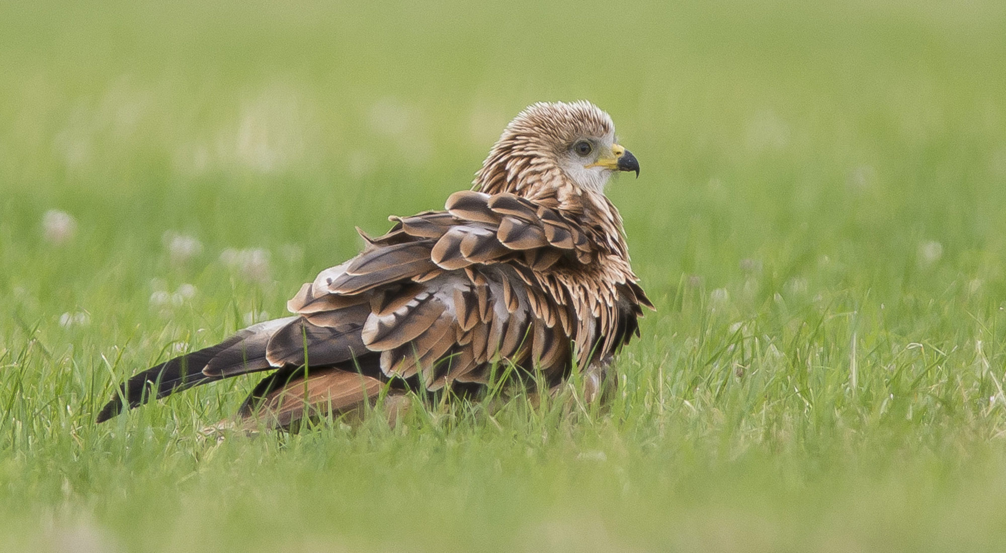 Wildlife Photography Hides Hide photography Bourne Lincolnshire Raptor Bird of prey red kite grass field tom robinson juvenile scavenger