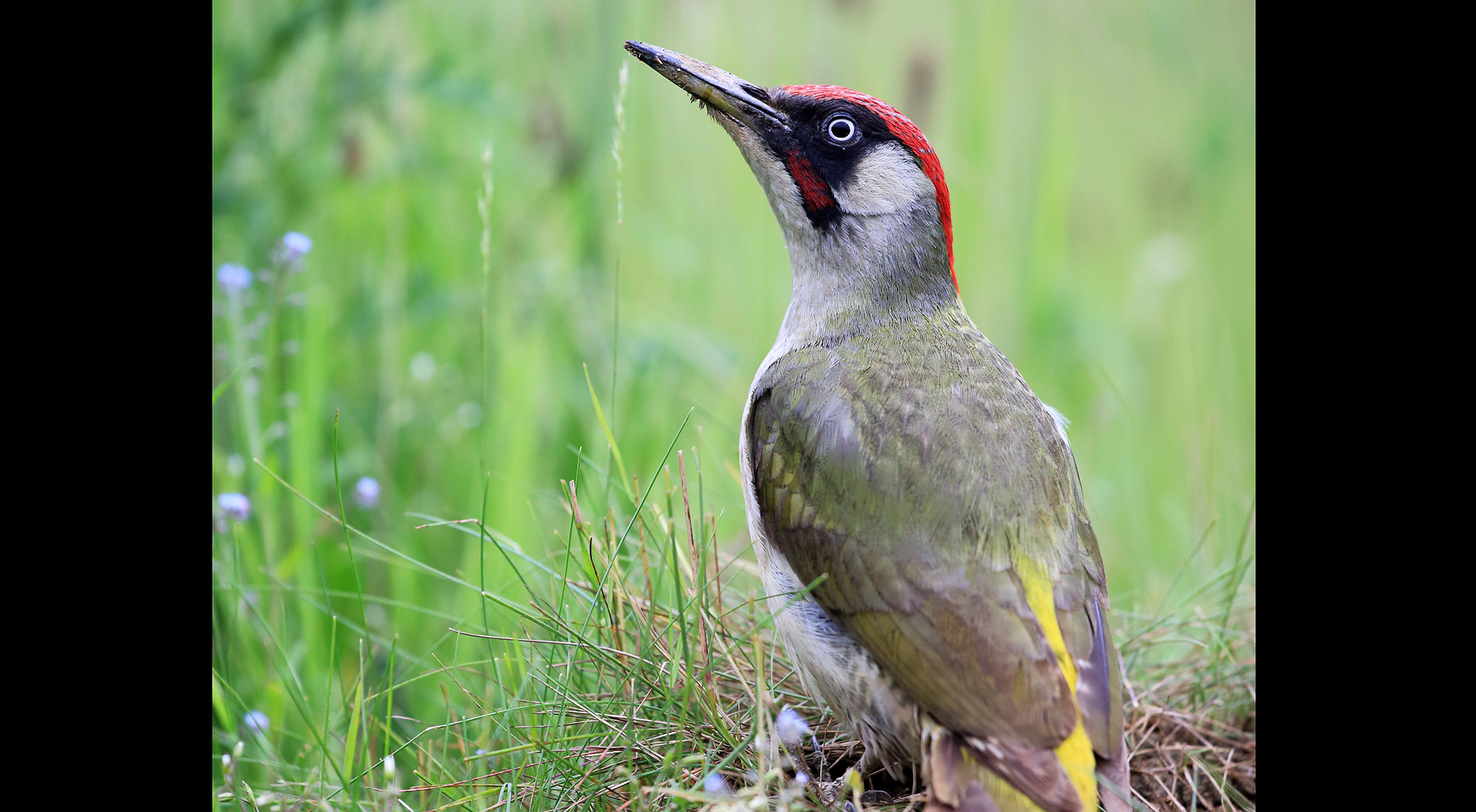 Wildlife Photography Hides Hide photography Bourne Lincolnshire mealworms green woodpecker anthill reflective glass green grass adult male bob johnson