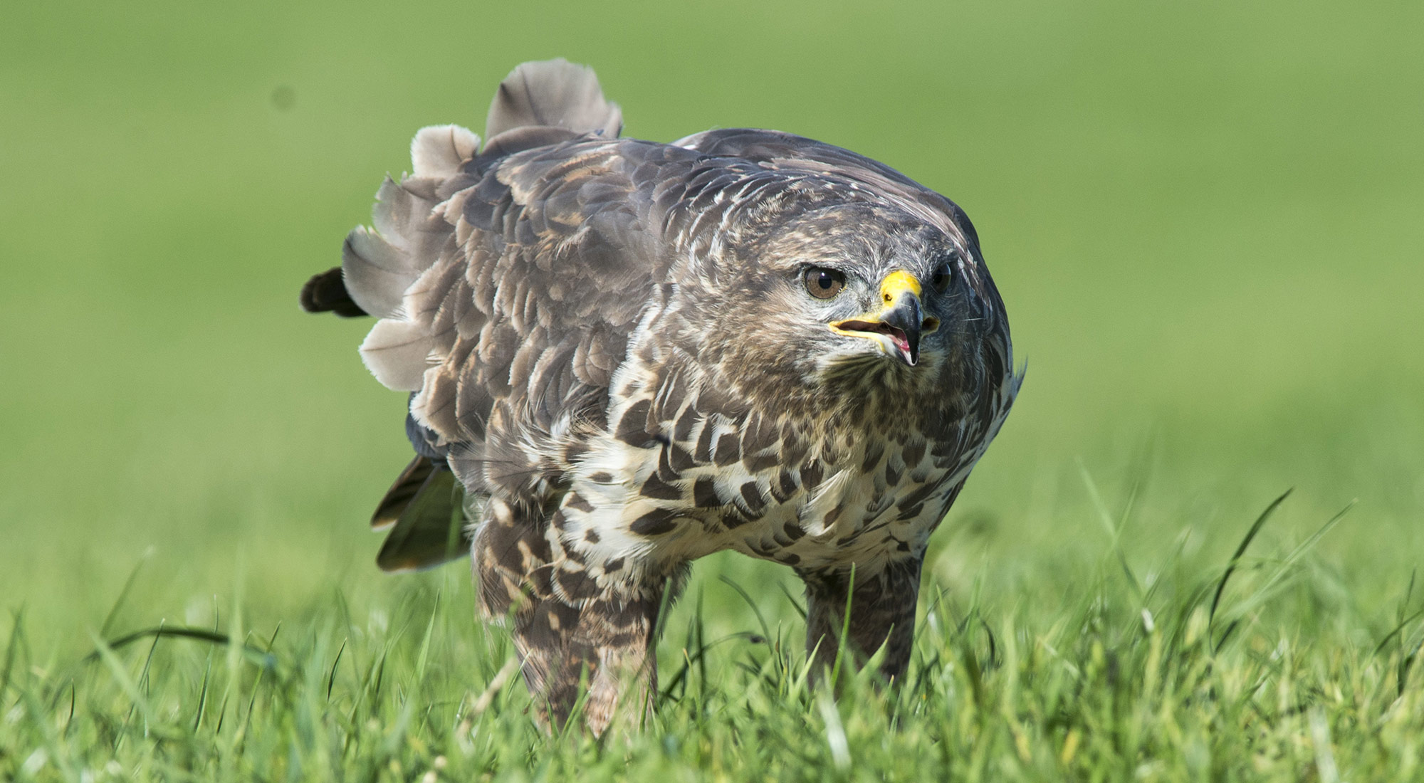 Wildlife Photography Hides Hide photography Bourne Lincolnshire buzzard buteo buteo green grass juvenile adult bird of prey eating pheasant red kite feeding roadkill tom robinson