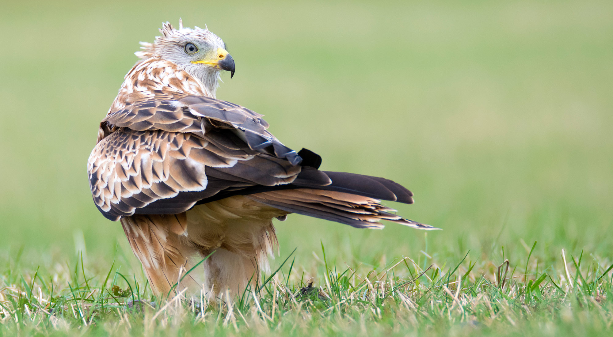 Wildlife Photography Hides Hide photography Bourne Lincolnshire red kite bird of prey scavenger field green grass Jim Poberezniuk nikon raptor