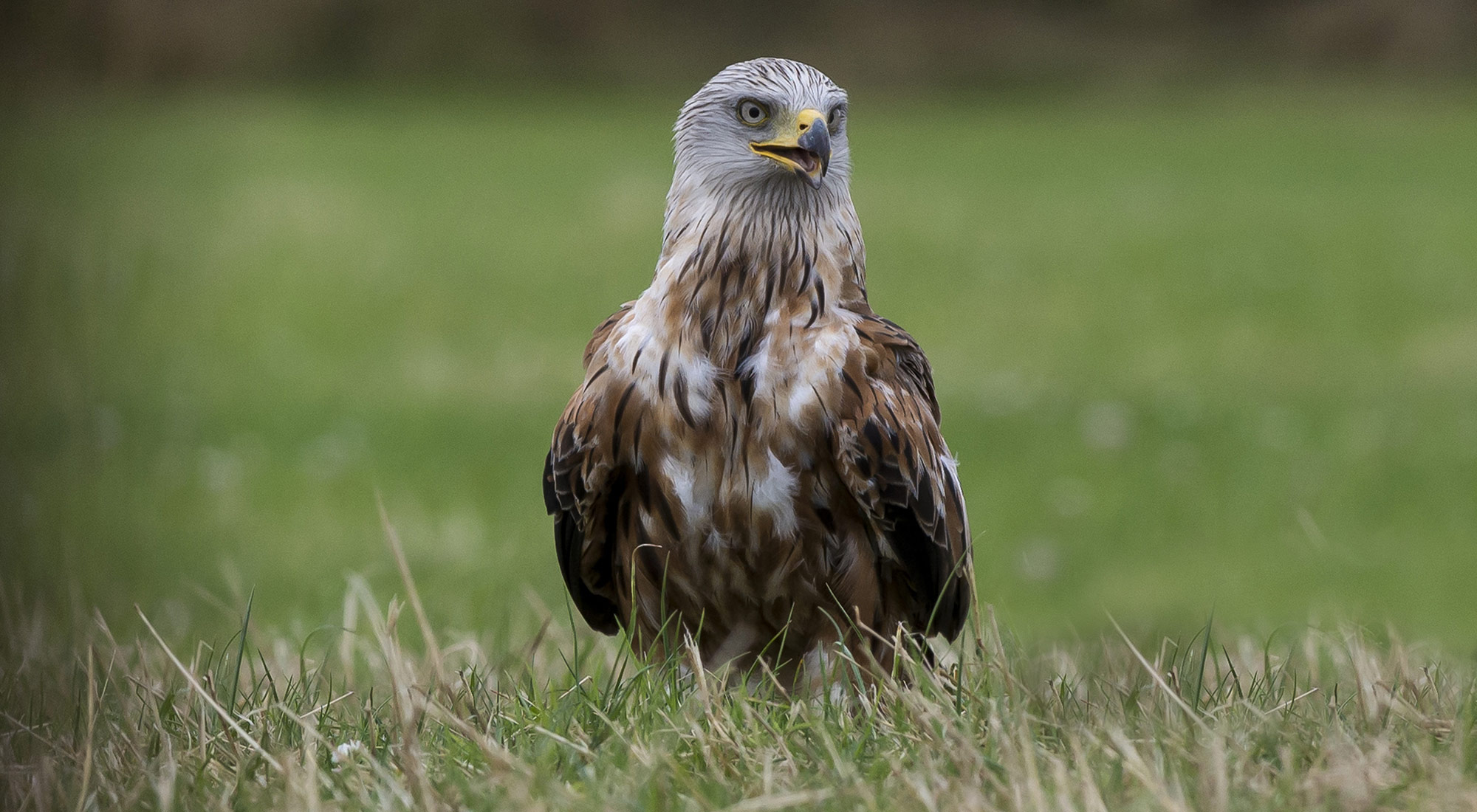 Wildlife Photography Hides Hide photography Bourne Lincolnshire fighting juveniles bird of prey red kite carrion green grass talons tom robinson
