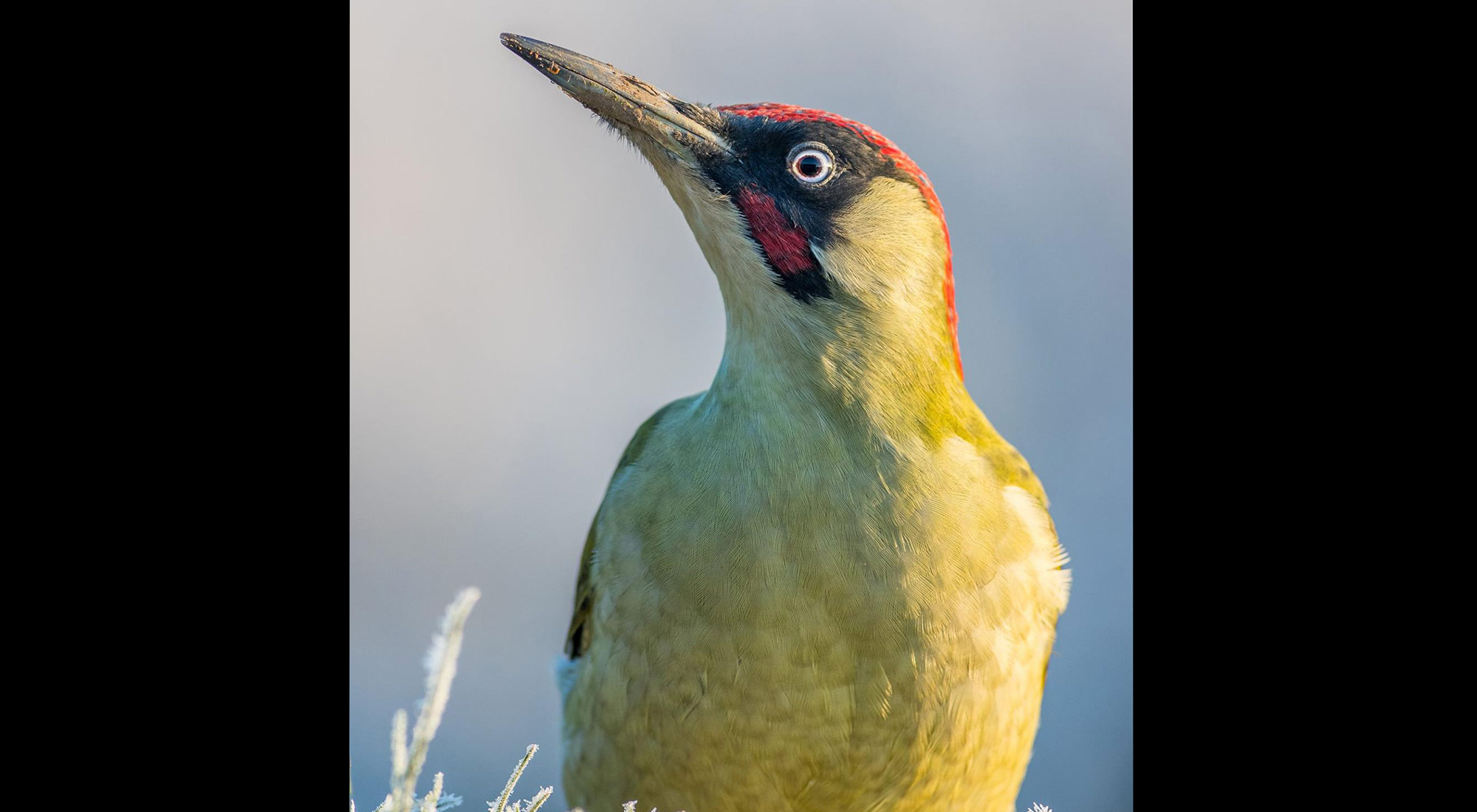Wildlife Photography Hides Hide photography Bourne Lincolnshire green woodpecker anthill feeding mealworms male adult frost morning golden hour blues kirsty taylor