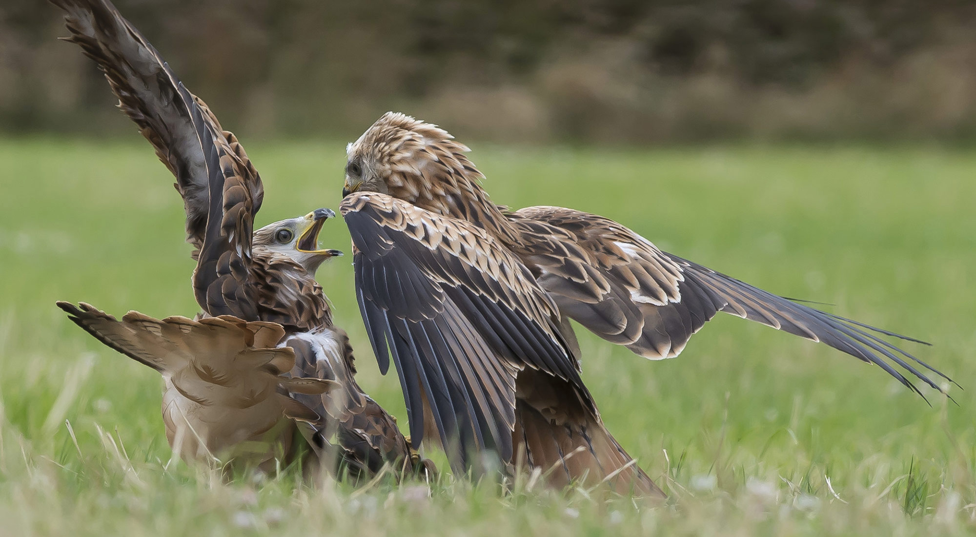 Wildlife Photography Hides Hide photography Bourne Lincolnshire tom robinson rental red kite carrion fighting juveniles raptor green grass young immature feeding
