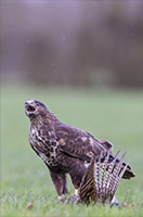 pix/species/buzzard/large/1.jpg