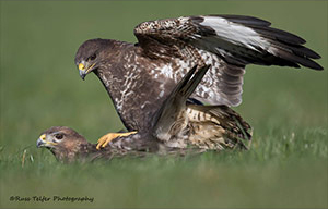pix/species/buzzard/large/2.jpg