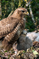pix/species/buzzard/large/3.jpg