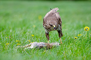 pix/species/buzzard/large/4.jpg