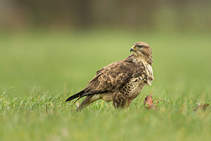 pix/species/buzzard/large/5.jpg