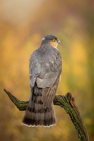 pix/species/sparrowhawk/large/1.jpg