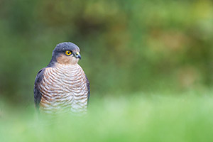 pix/species/sparrowhawk/large/2.jpg