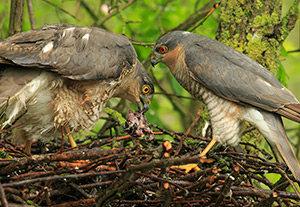 pix/species/sparrowhawk/large/3.jpg