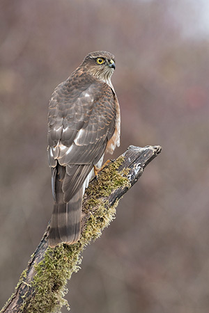 pix/species/sparrowhawk/large/4.jpg