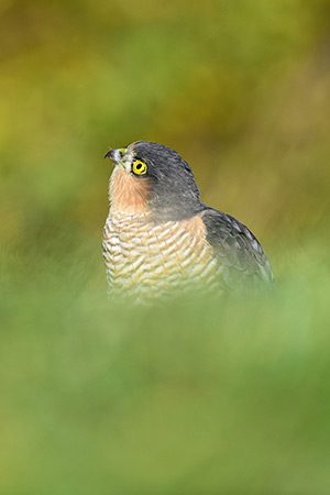 pix/species/sparrowhawk/large/6.jpg